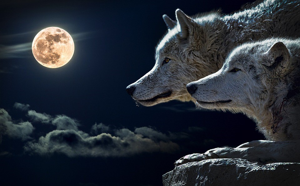 halb wolf halb mensch